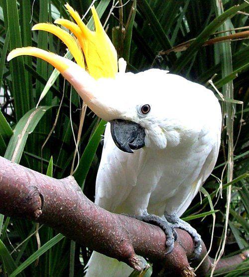 Малый желтохохлый какаду.  Очень распространён в качестве домашней птицы.