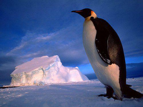 Императорский пингвин (Aptenodytes forsteri) фото