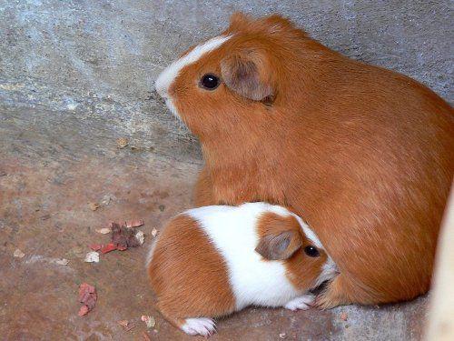 как познакомить морских свинок друг с другом