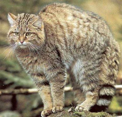 Дальний восток коты