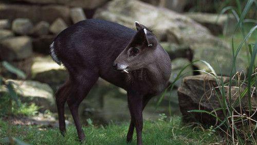 Картинки по запросу Хохлатый олень