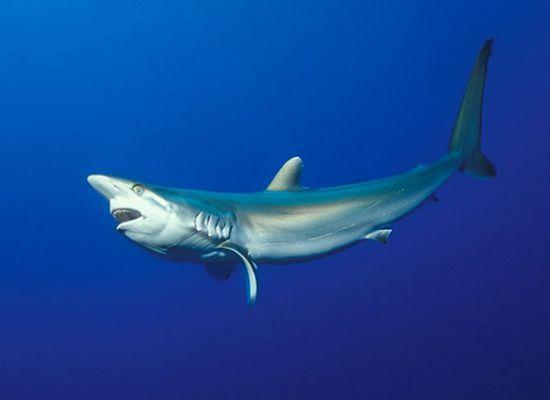 Шелковая акула получила свое название из-за гладкой кожи.