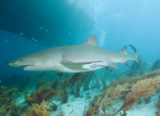 Лимонные акулы могут погружаться на глубину до 400м. при поиске пищи, но...